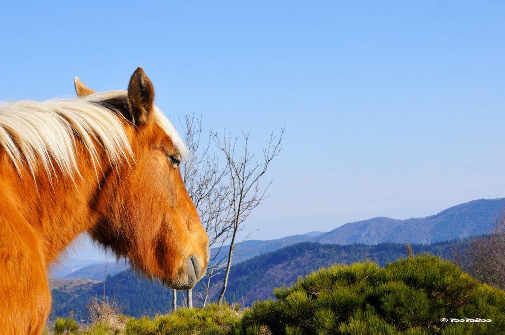 Cheval qui contemple les montagnes ardéchoise