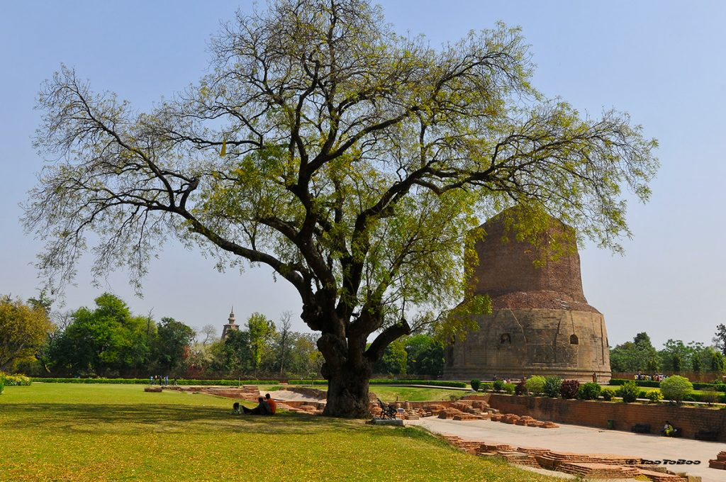 L'arbre de Bodhi, dans le parc des gazelles-Sarnath